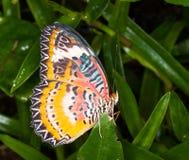 леопард бабочки lacewing Стоковое фото RF