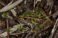 леопард лягушки южный Стоковое Изображение RF