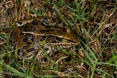 леопард лягушки южный Стоковое фото RF