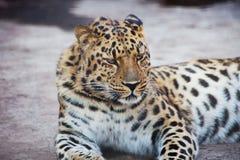 леопард amur Стоковое Фото