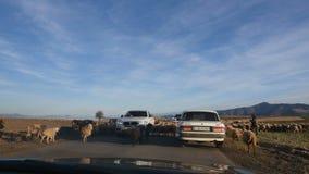 ЕРЕВАН, АРМЕНИЯ - 17-ое ноября 2017: чабан управляет стадом овец и штосселей и коровами вдоль дороги Пробовать автомобилей видеоматериал