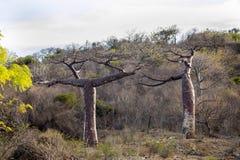 2 дерева баобаба в северном Мадагаскаре Стоковое Фото