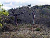2 дерева баобаба в северном Мадагаскаре Стоковые Фотографии RF