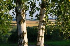 2 дерева березы Стоковое Изображение