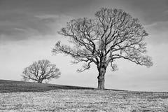 2 дерева в черно-белом Стоковые Фото