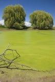 2 дерева и болото Стоковые Фотографии RF