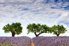 3 дерева и поле лаванды Стоковое фото RF