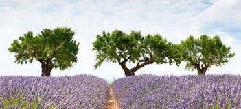 3 дерева и поле лаванды Стоковая Фотография RF