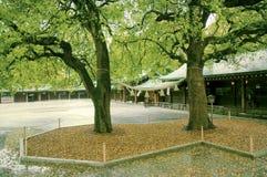 2 дерева камфоры Стоковые Фотографии RF