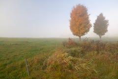 2 дерева клена на туманном утре осени Стоковые Изображения