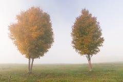 2 дерева клена на туманном утре осени Стоковое Изображение
