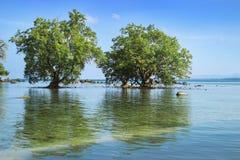 2 дерева мангровы в зоне малой воды Таиланд Стоковая Фотография RF