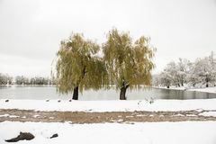 2 дерева напротив озера в зиме Стоковое фото RF
