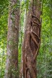 2 дерева обнимая очень большинств джунгли & x28; Bohorok, Indonesia& x29; Стоковые Изображения RF