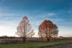 2 дерева при красные листья освещенные солнцем Стоковое Фото