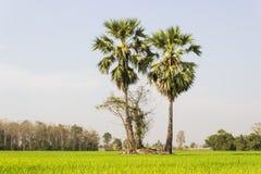 2 дерева сахара в поле Стоковое Изображение