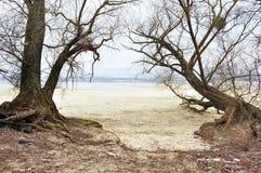 2 дерева с корнями Стоковые Фотографии RF
