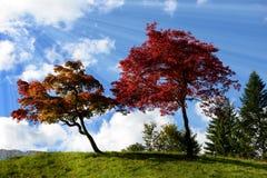 2 дерева с красивыми цветами падения Стоковые Фотографии RF