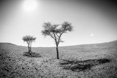 2 дерева черно-белого, Марокко Стоковые Изображения RF
