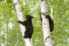 2 дерева Cubs медведя взбираясь встают на сторону - мимо - сторона Стоковые Фото