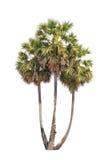 3 дерева flabellifer borassus изолированного на белой предпосылке Стоковые Изображения