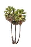 3 дерева flabellifer borassus изолированного на белой предпосылке Стоковые Фотографии RF