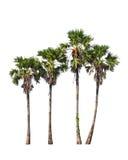 4 дерева flabellifer borassus Стоковая Фотография RF