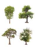 дерево в изоляте лета на белой предпосылке Стоковая Фотография RF