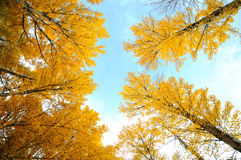 дерево осени смотря вверх Стоковое Изображение