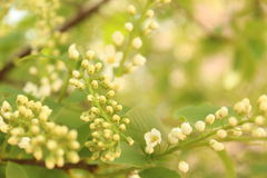 дерево Птиц-вишни Стоковые Изображения RF
