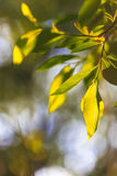 дерево Птиц-вишни Стоковая Фотография RF