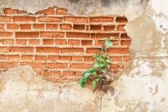 дерево bodhi на старой стене Стоковая Фотография