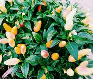 дерево chili стоковые изображения rf
