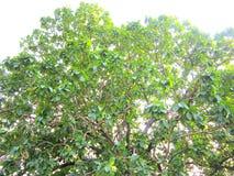 дерево mahua Стоковая Фотография RF