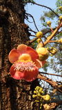 дерево sara Buddhis Стоковая Фотография RF