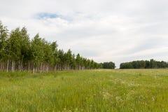 деревья березы формируют рощу на краю поля Стоковые Изображения RF