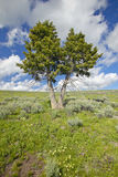 2 деревья, цветки весны и горы внутри в Centennial долине около Lakeview, MT Стоковые Изображения RF