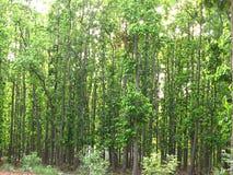 деревья шали Стоковое Изображение RF