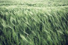 Естественная абстрактная предпосылка eco с зеленой свежей пшеницей в ветре Стоковое Изображение