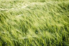 Естественная абстрактная предпосылка eco с зеленой свежей пшеницей в ветре Стоковые Фото