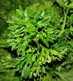 Естественная ароматичная петрушка Стоковая Фотография
