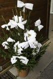 Естественная белая маргаритка стоковая фотография rf