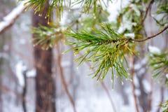 Естественная ветвь ели рождества с падениями в лесе зимы, closeu стоковая фотография rf