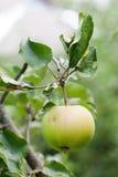 Естественная ветвь яблони растительности в саде Органическая концепция плодоовощей сфокусируйте мягко поле глубины отмелое Стоковые Фото