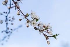 Естественная вишня цветения цветет ветвь Стоковое фото RF