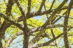 Естественная зеленая предпосылка дерева тыквы, мексиканского калебаса Стоковое Фото