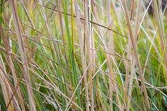 Естественная зеленая предпосылка текстуры тростников Стоковое Изображение RF