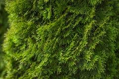 Естественная зеленая coniferous предпосылка Стоковые Фото