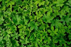 Естественная картина листьев предпосылки заводов Стоковые Фотографии RF
