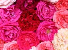 Естественная красочная предпосылка роз Плоское положение Взгляд сверху Концепция Romance и влюбленности карточки Стоковые Изображения